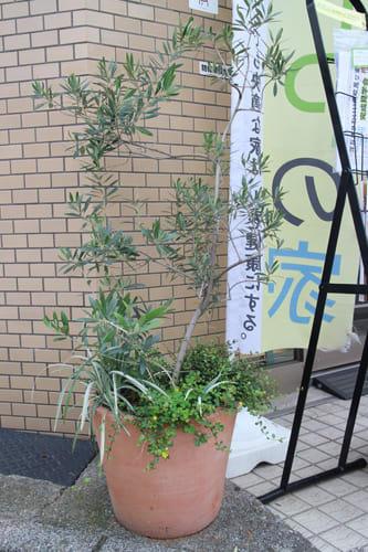 事務所の前のオリーブの木